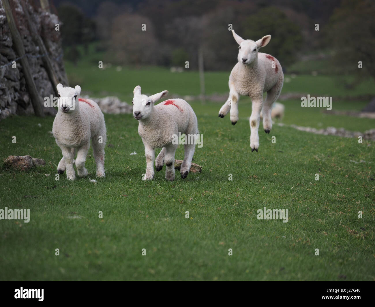 Cumbria, UK. 25th Apr, 2017. Overcast day in Cumbria. Three lambs frolicking in Cumbria despite the unseasonable - Stock Image