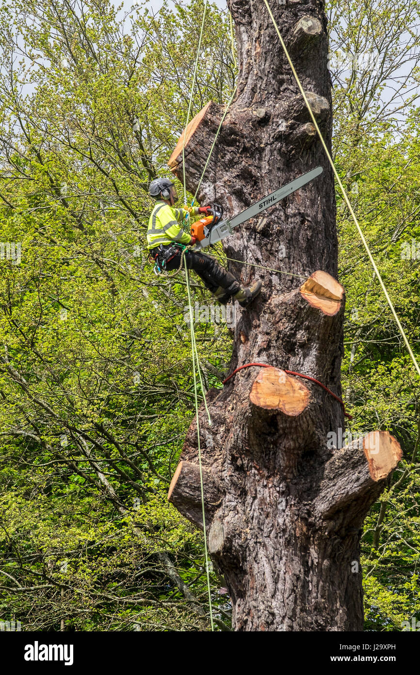 Tree Surgeon Arborist Arboriculture Expert Dangerous Occupation Cutting Down Tree Using Chain Saw Working at Height - Stock Image