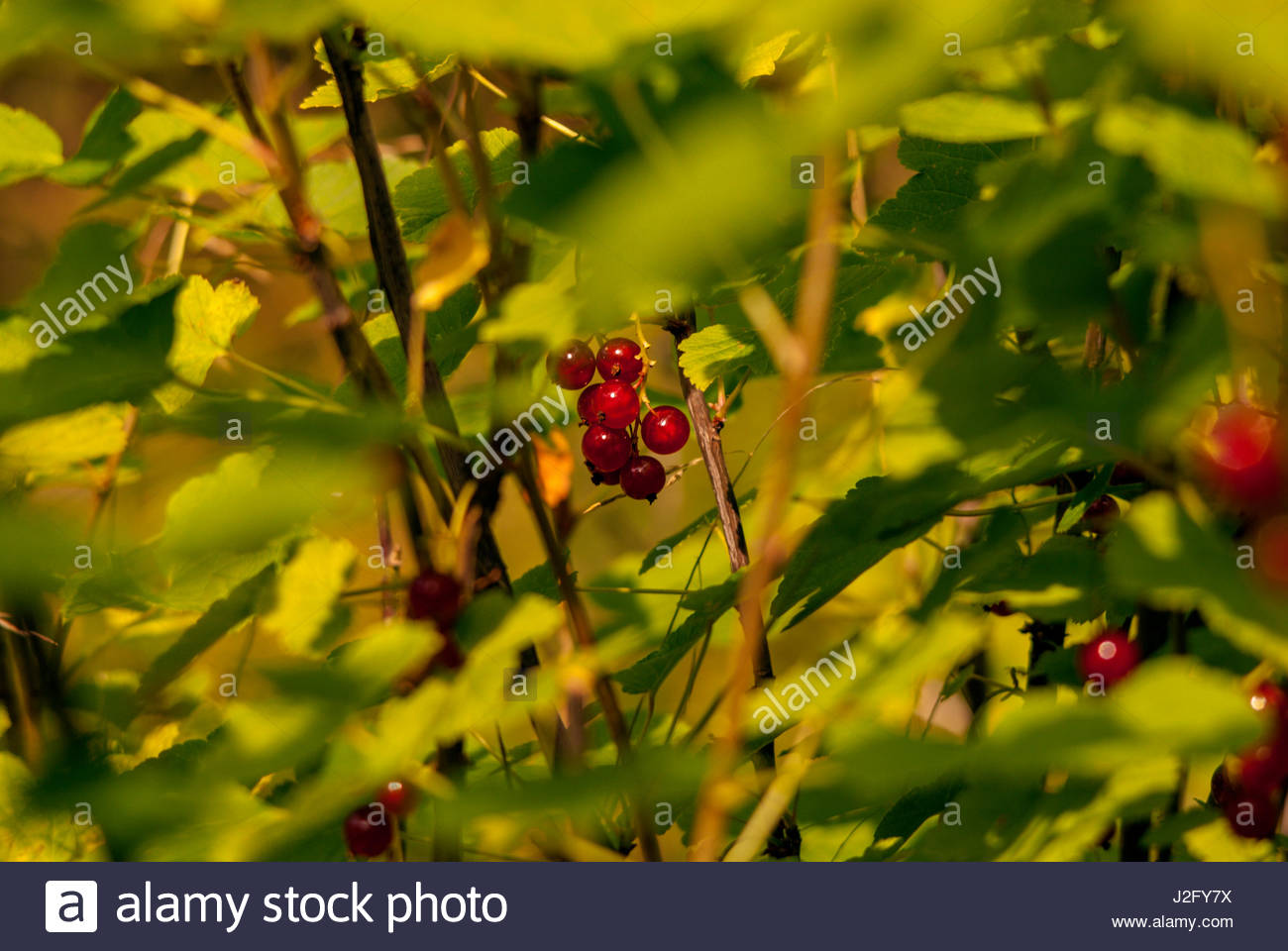 Redcurrant bush in the garden, has the important Anthocyanin.. - Stock Image