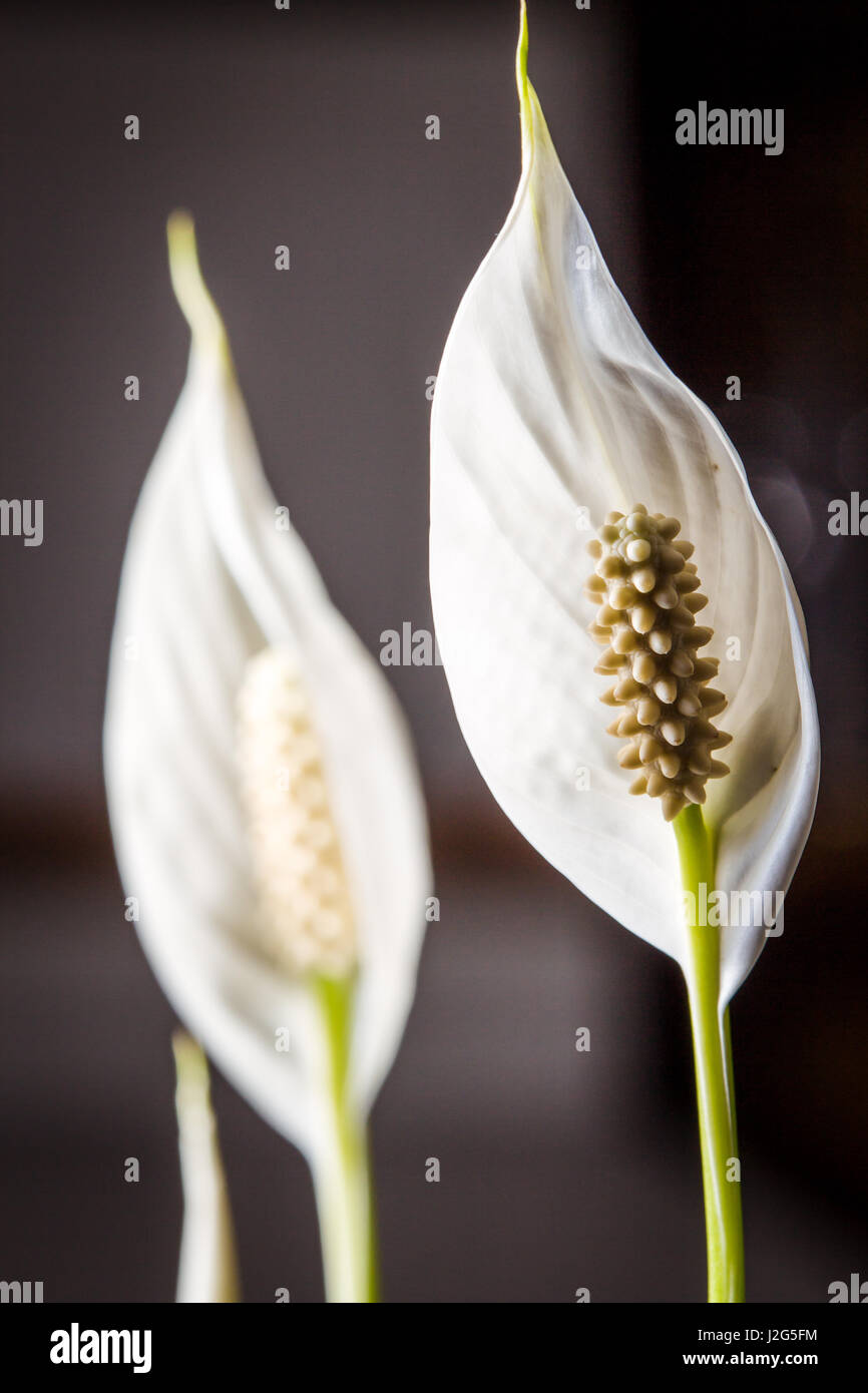 Close Up Of A White Flower Of An Indoor Plant In Color Stock Photo
