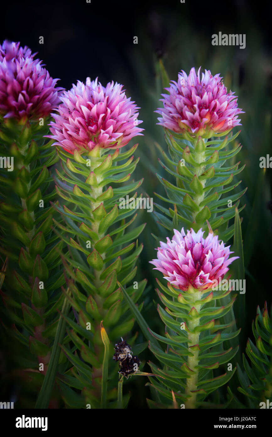 USA, Colorado, Mt. Evans. Close-up of Queen's Crown flowers. Credit as: Don Grall / Jaynes Gallery / DanitaDelimont.com - Stock Image