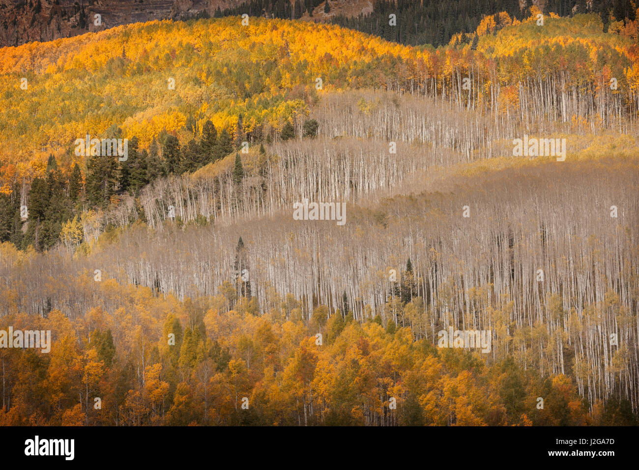 USA, Colorado, Gunnison National Forest. Fall display of aspen trees. Credit as: Don Grall / Jaynes Gallery / DanitaDelimont.com - Stock Image