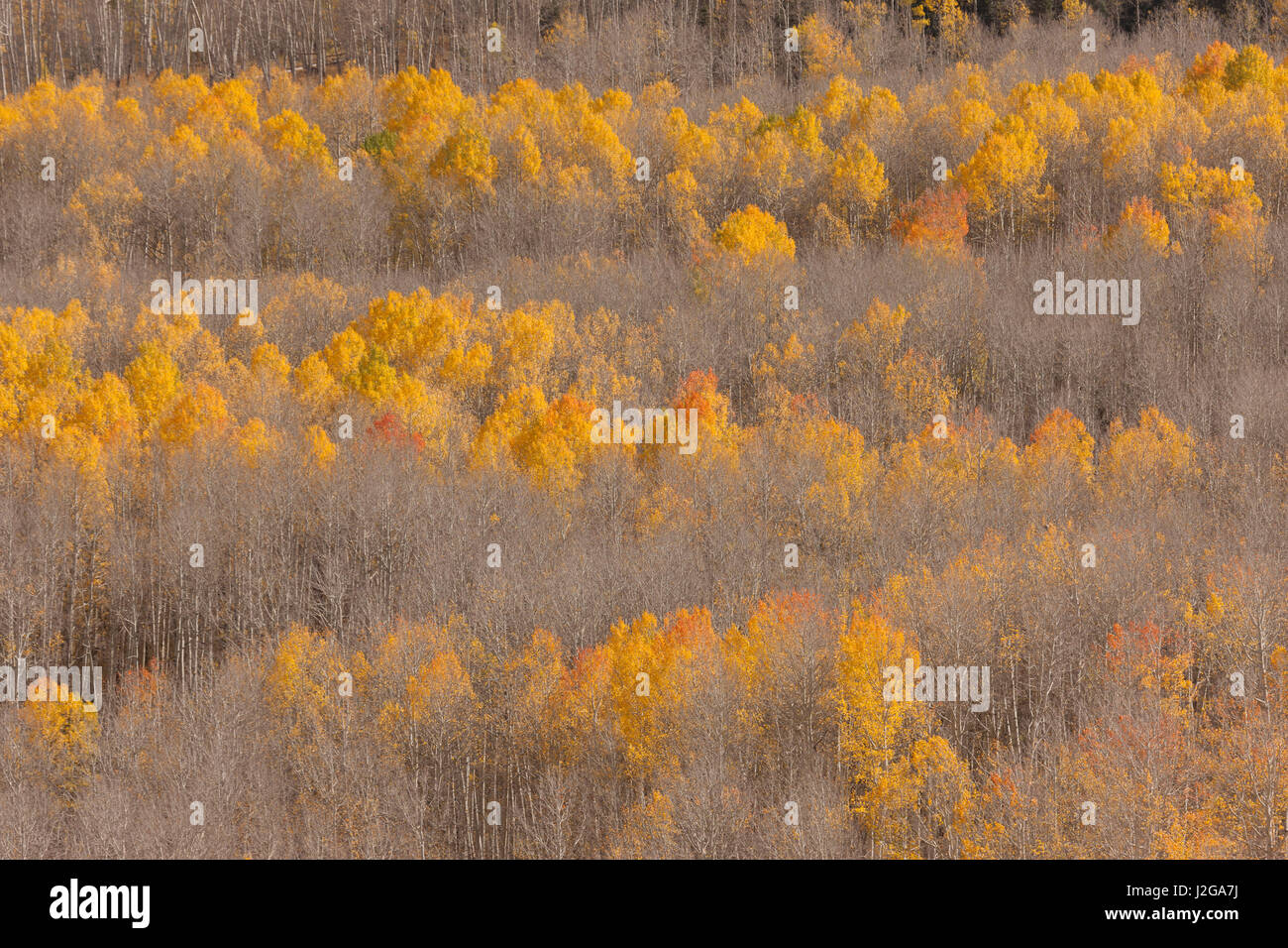 USA, Colorado, Uncompahgre National Forest. Aspen forest in autumn. Credit as: Don Grall / Jaynes Gallery / DanitaDelimont.com - Stock Image