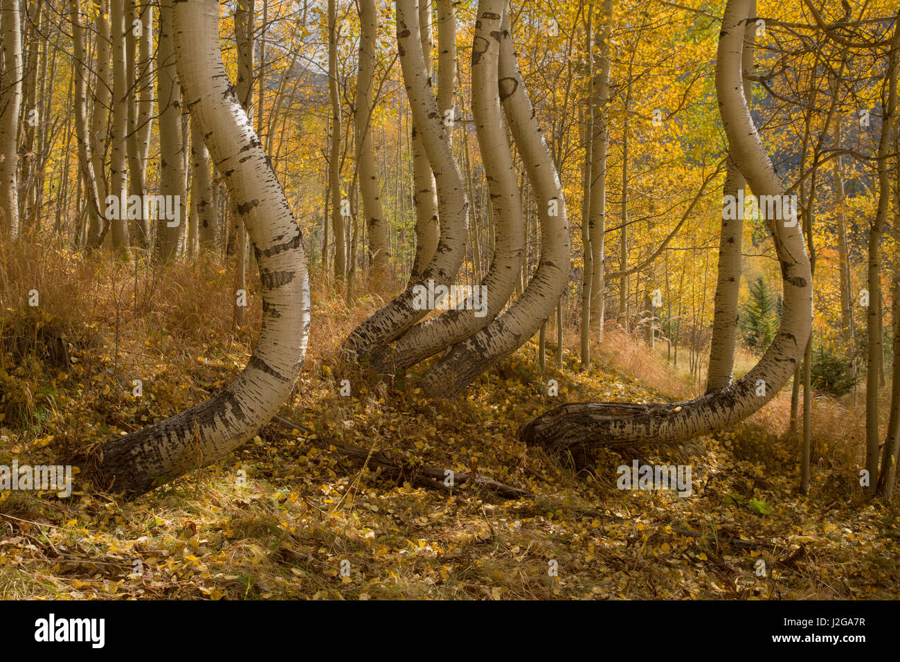 USA, Colorado, Uncompahgre National Forest. Symmetrically deformed aspen trunks. Credit as: Don Grall / Jaynes Gallery - Stock Image