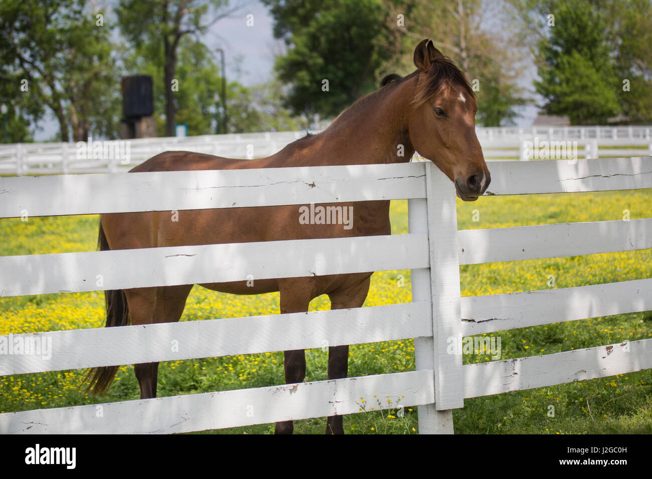 USA, Kentucky, Lexington. Horse at fence. Credit as: Don Grall / Jaynes Gallery / DanitaDelimont.com - Stock Image