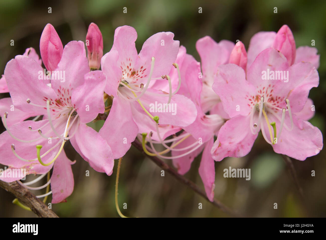 USA, North Carolina. Close-up of Catawba rhododendron flowers. Credit as: Don Grall / Jaynes Gallery / DanitaDelimont.com - Stock Image