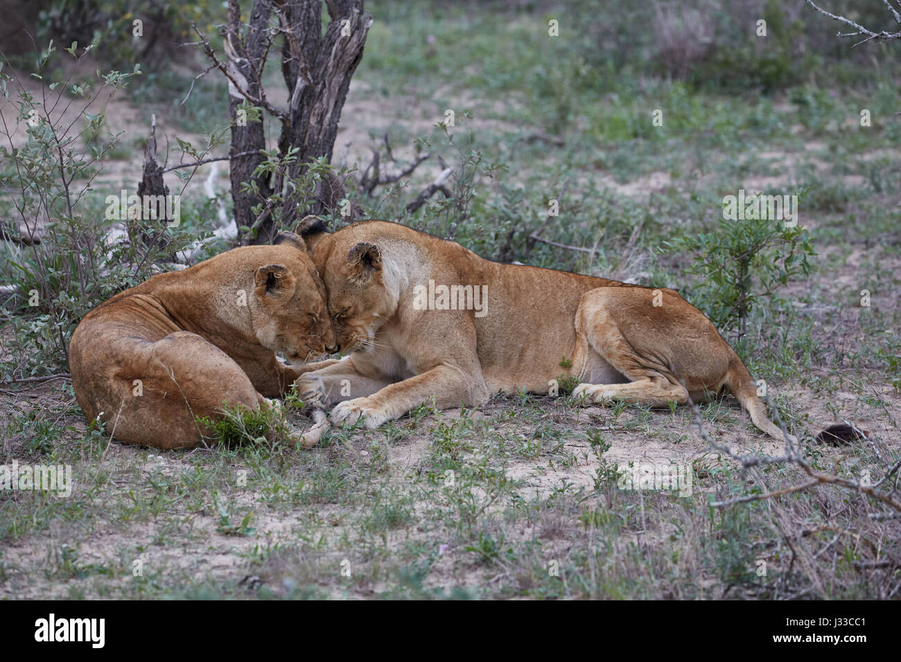 Lions caressing each other in Krueger National park, South Africa, Africa - Stock Image