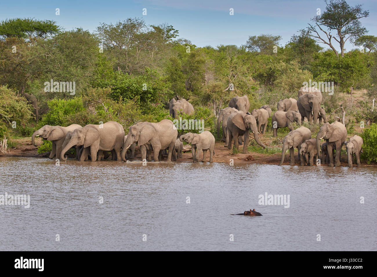 Elephants drinking in a waterhole, Krueger National park, South Africa, Africa - Stock Image