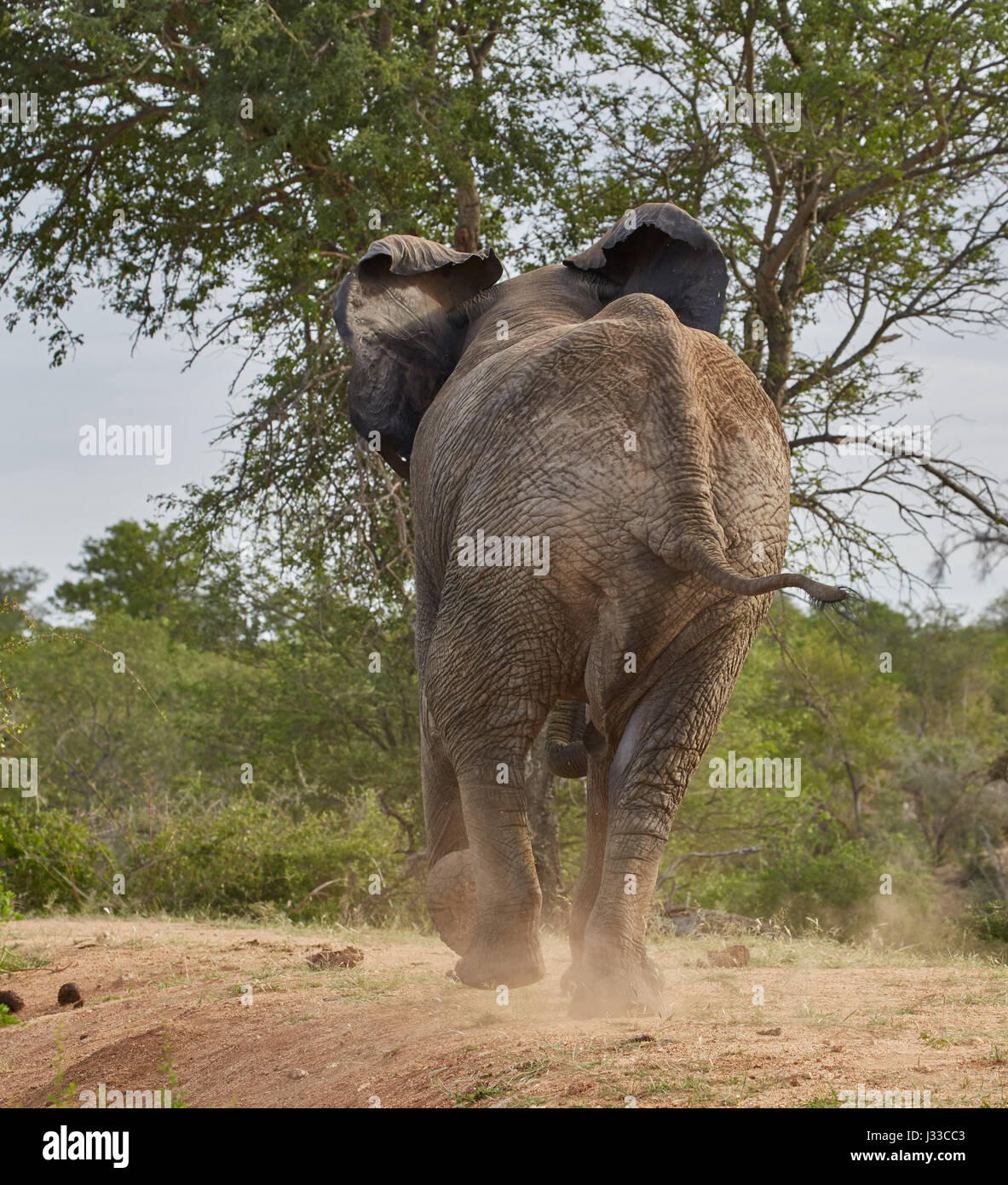 Young elephant bull running away, Krueger National park, South Africa, Africa - Stock Image