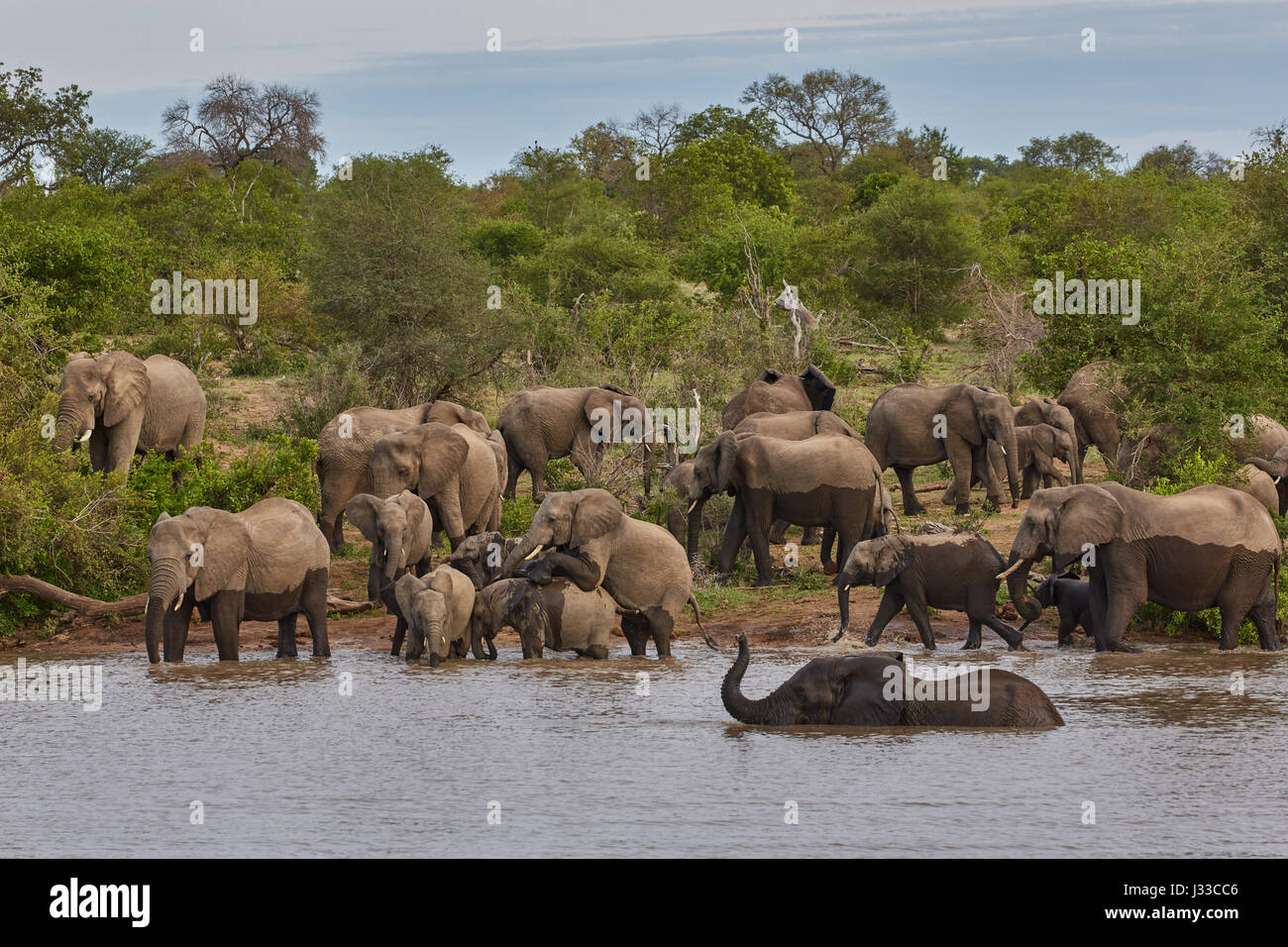 Bathing elephants in a waterhole, Krueger National park, South Africa, Africa - Stock Image