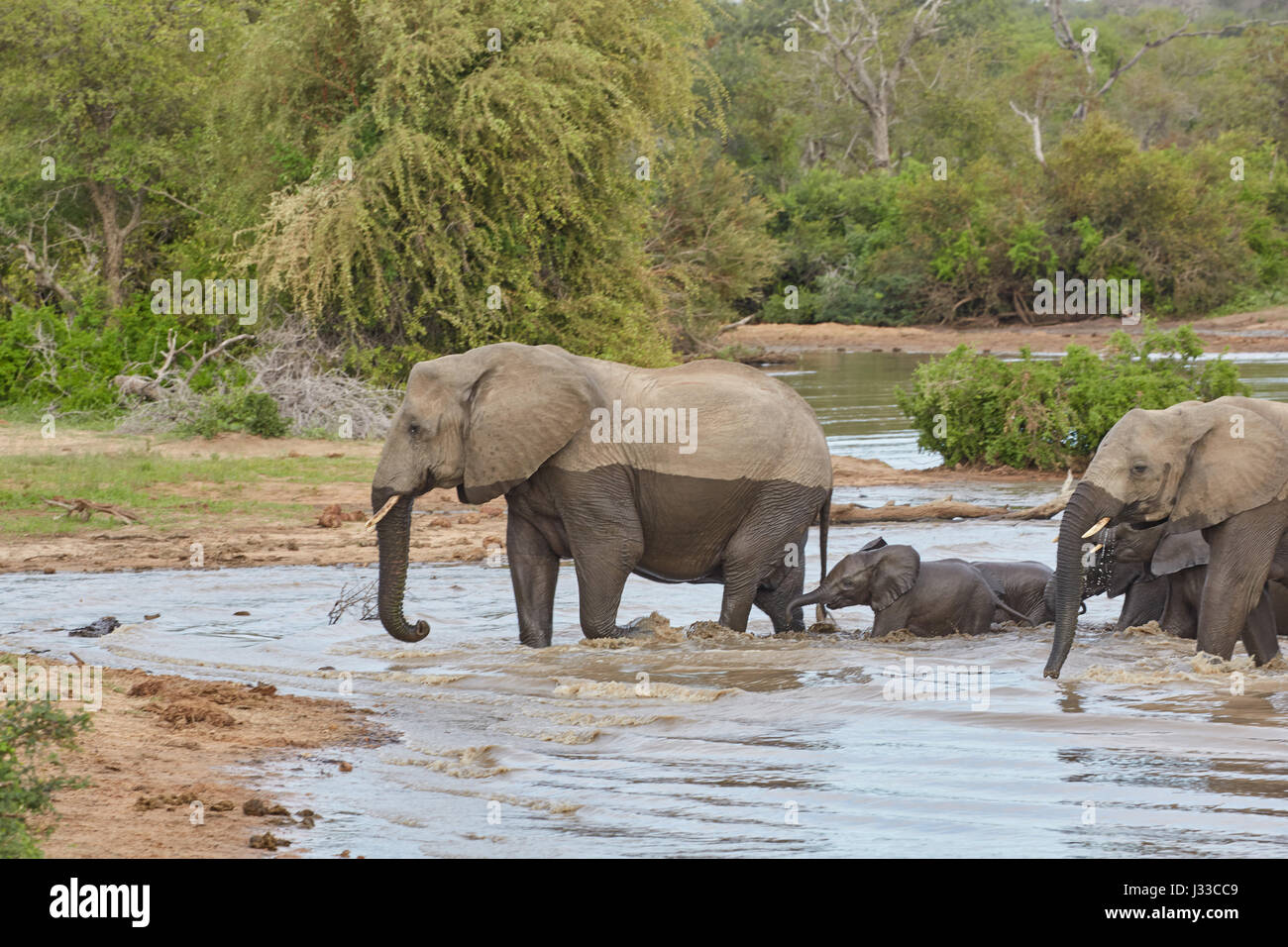 Elephants crossing a waterhole, Krueger National park, South Africa, Africa - Stock Image