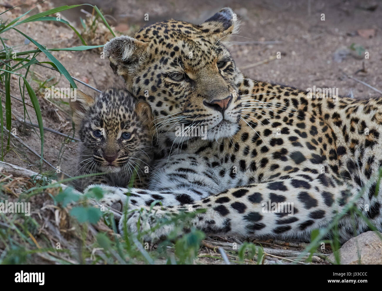 Leopard with young cub in Krueger National park, South Africa, Africa - Stock Image