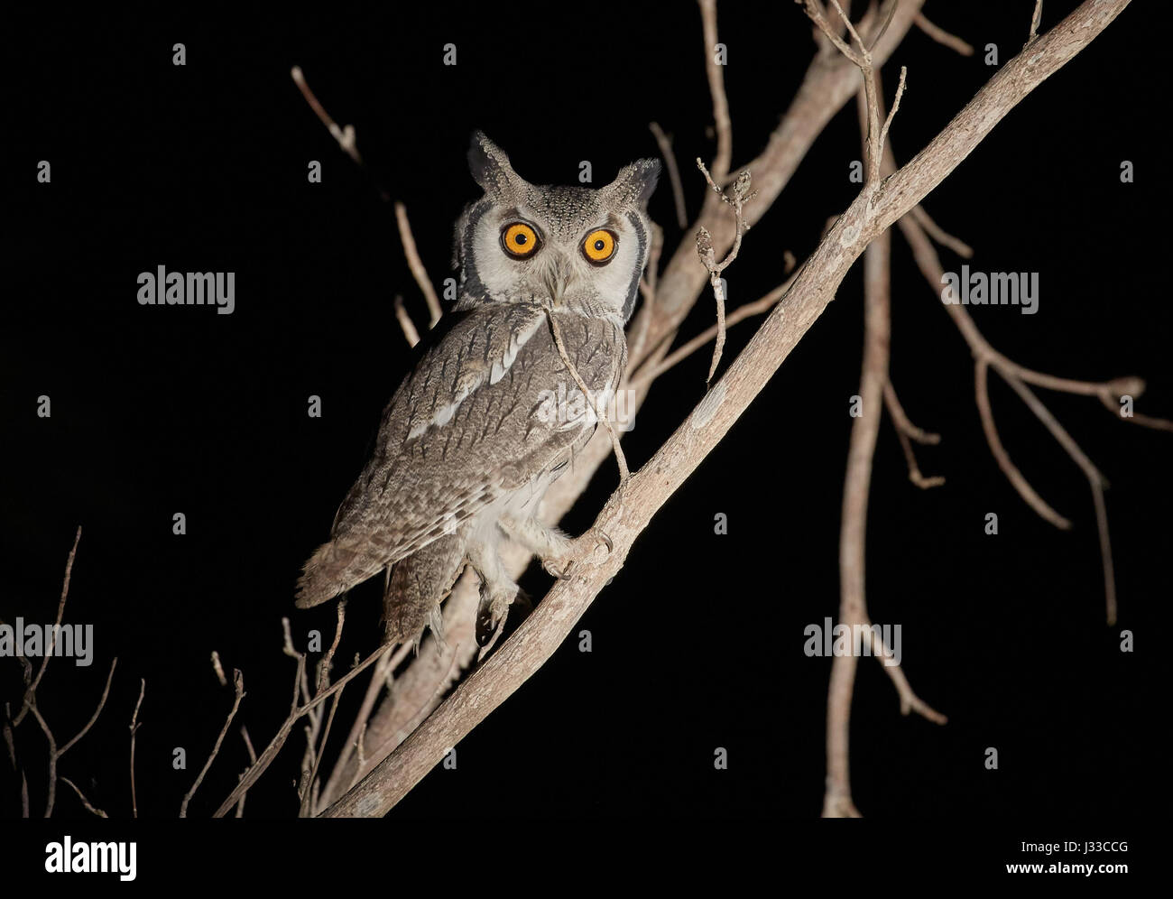 Scops owl on a branch in Krueger National park, South Africa, Africa - Stock Image