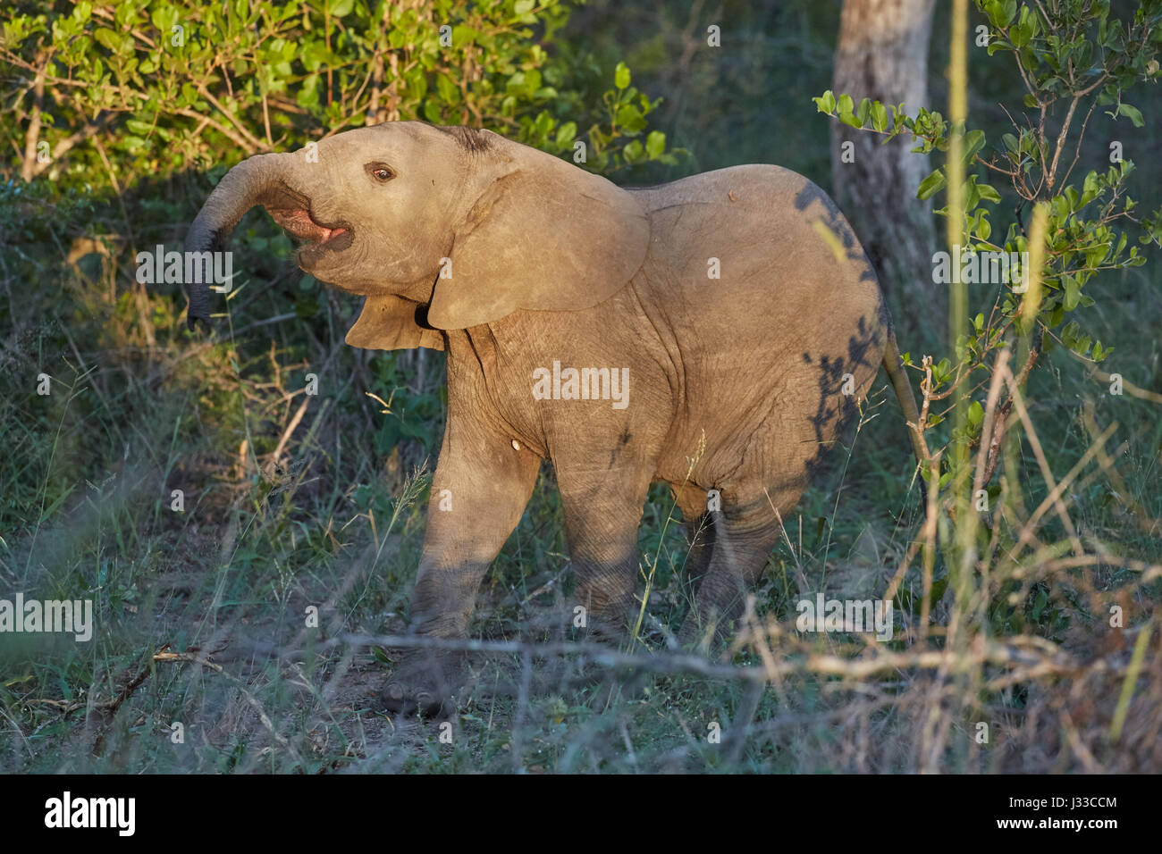 Young elephant in Krueger National park, South Africa, Africa - Stock Image