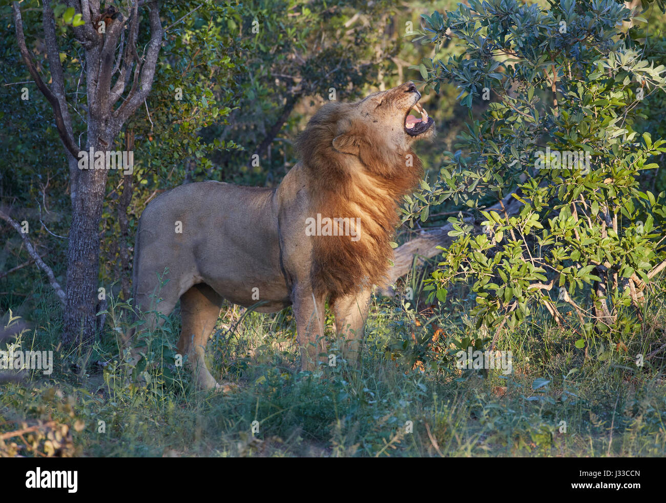 Lions roaring to other lions, Krueger National park, South Africa, Africa - Stock Image