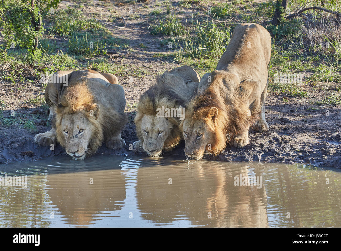 Lions drinking at a waterhole Krueger National park, South Africa, Africa - Stock Image