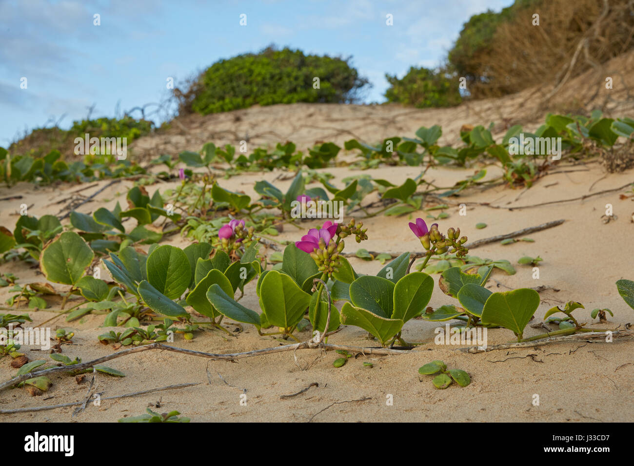 Dunes and vegetation at the Indian Ocean in iSimangaliso-Wetland Park, South Africa, Africa - Stock Image