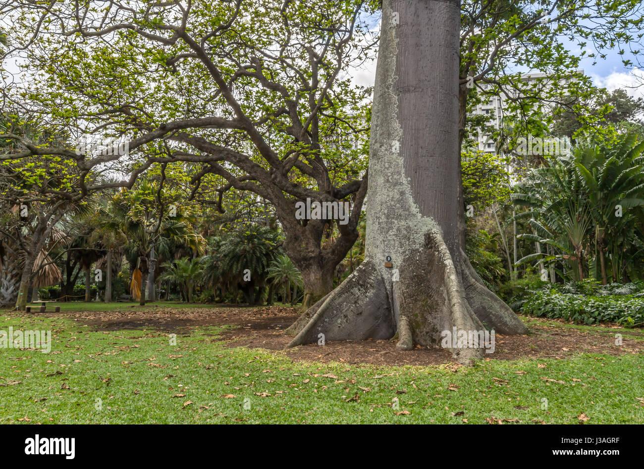 Kapok tree stock photos kapok tree stock images alamy for Foster botanical garden honolulu