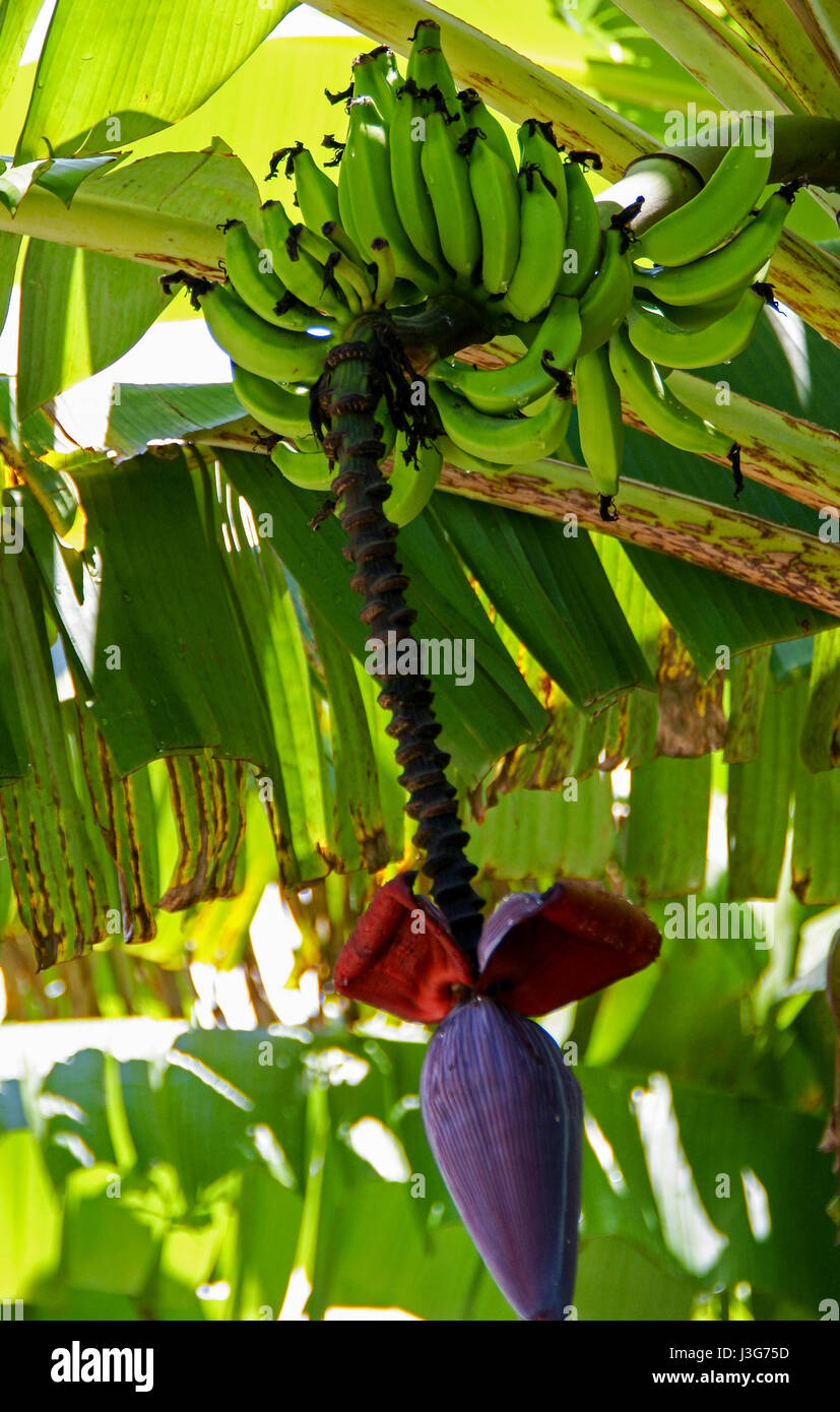Banana tree with a large purple flower and many bananas. - Stock Image