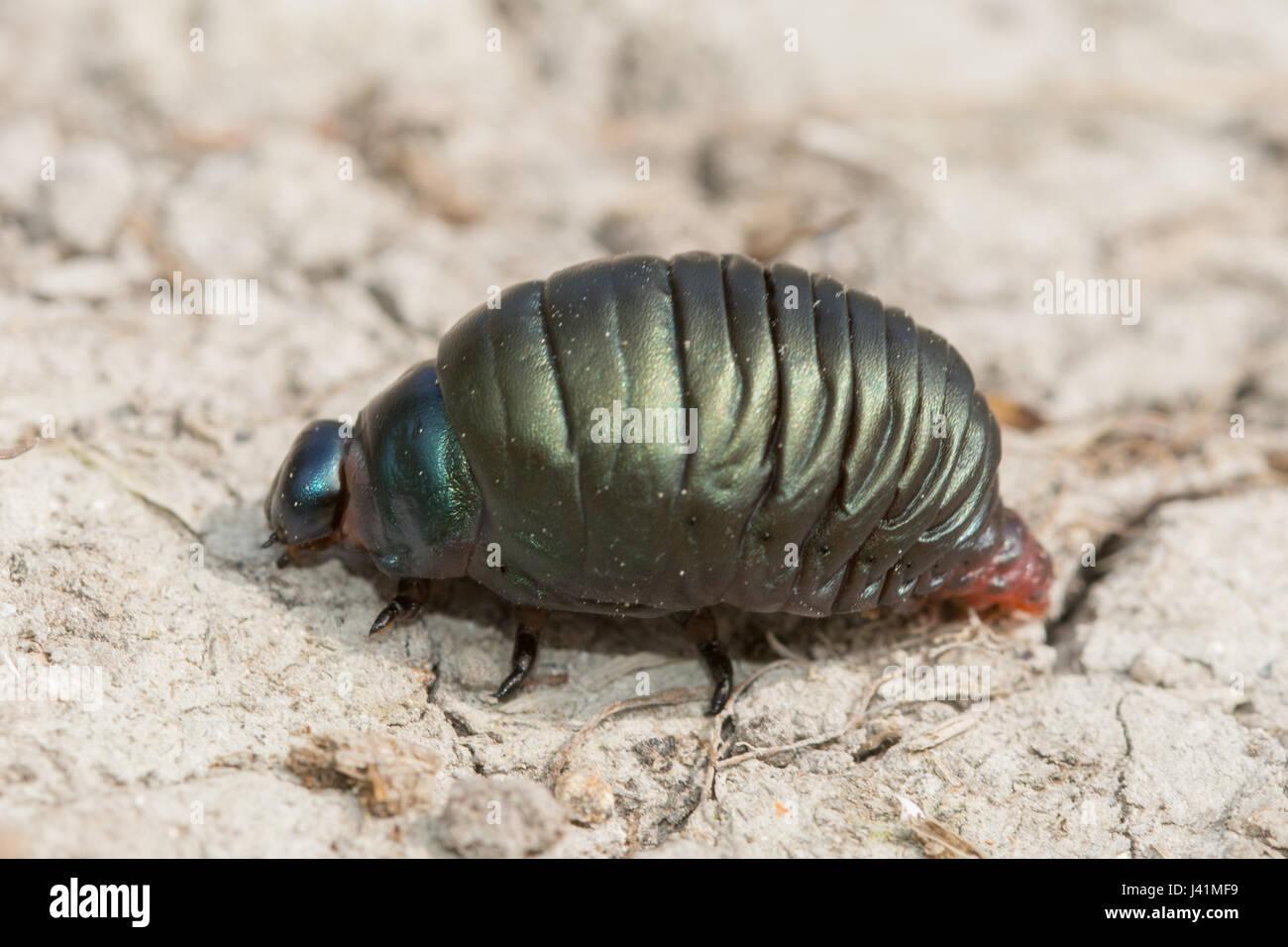 close-up-of-bloody-nosed-beetle-timarcha-tenebricosa-larva-J41MF9.jpg