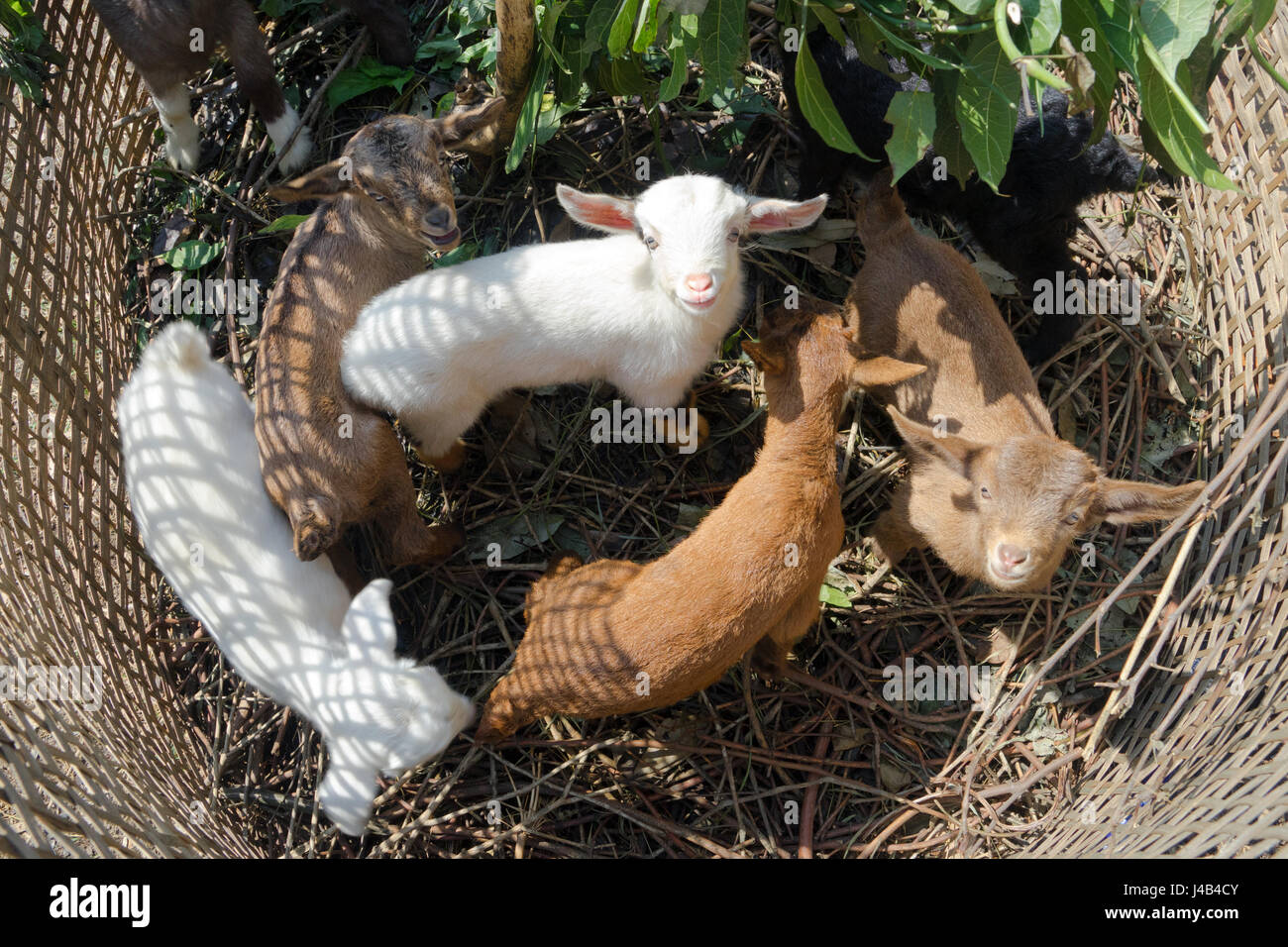 young-goats-kept-in-a-small-pen-made-of-braided-bamboo-near-gandruk-J4B4CY.jpg