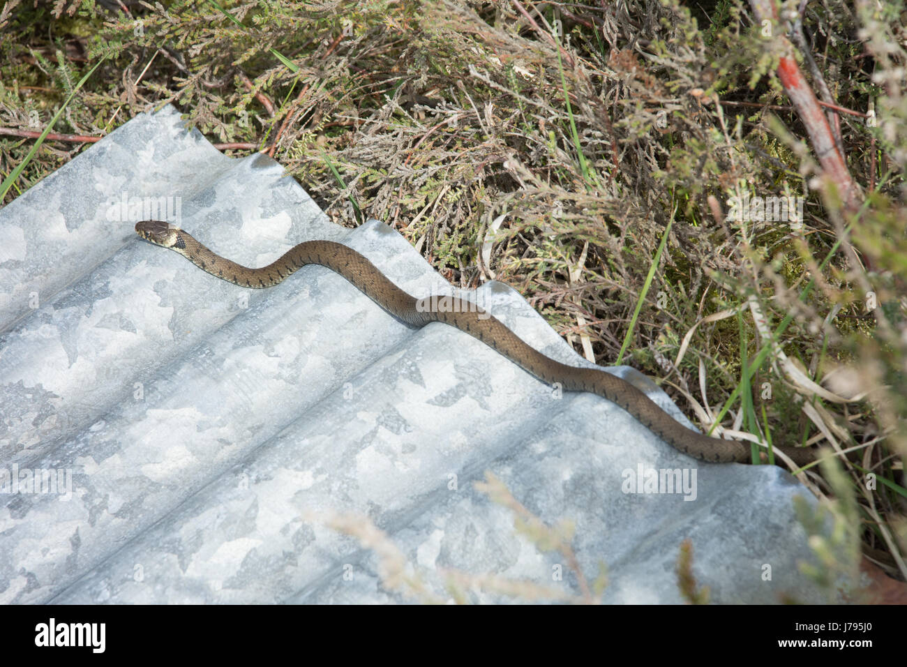 grass-snake-natrix-natrix-basking-in-sun-on-top-of-corrugated-iron-J795J0.jpg