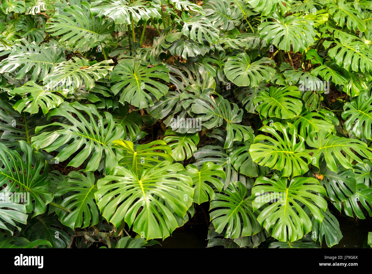 https://c7.alamy.com/comp/J79G6X/monstera-deliciosa-or-swiss-cheese-plant-in-the-malaga-botanical-garden-J79G6X.jpg