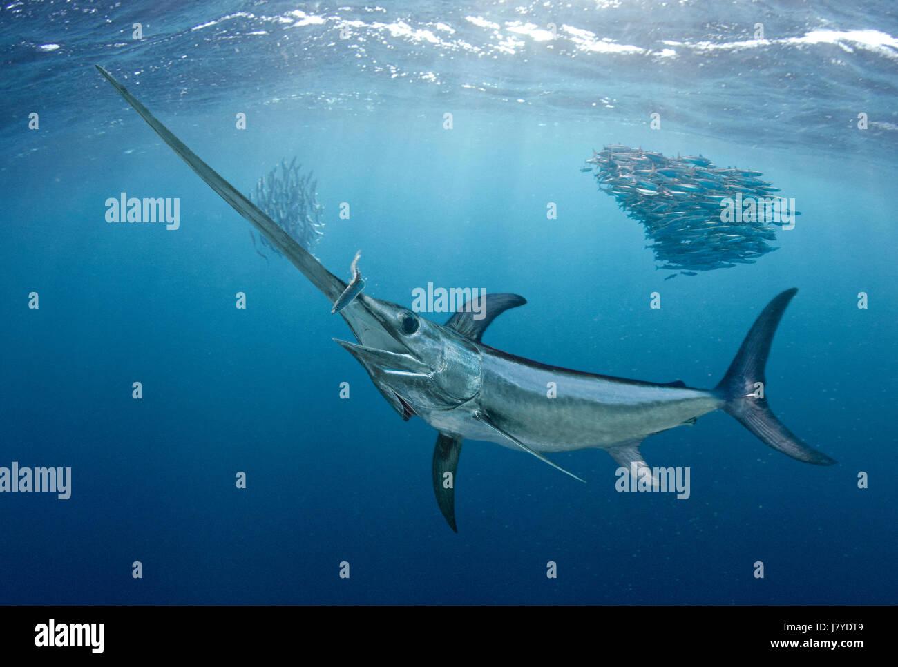 Xiphias gladius, Swordfish. Hunting sardines. Portugal. Stock Photo