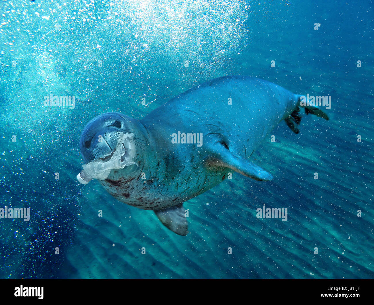 Monk seal playing with a plastic bottle. Eating plastic. Many marine mammals die with the stomach full of plastic Stock Photo