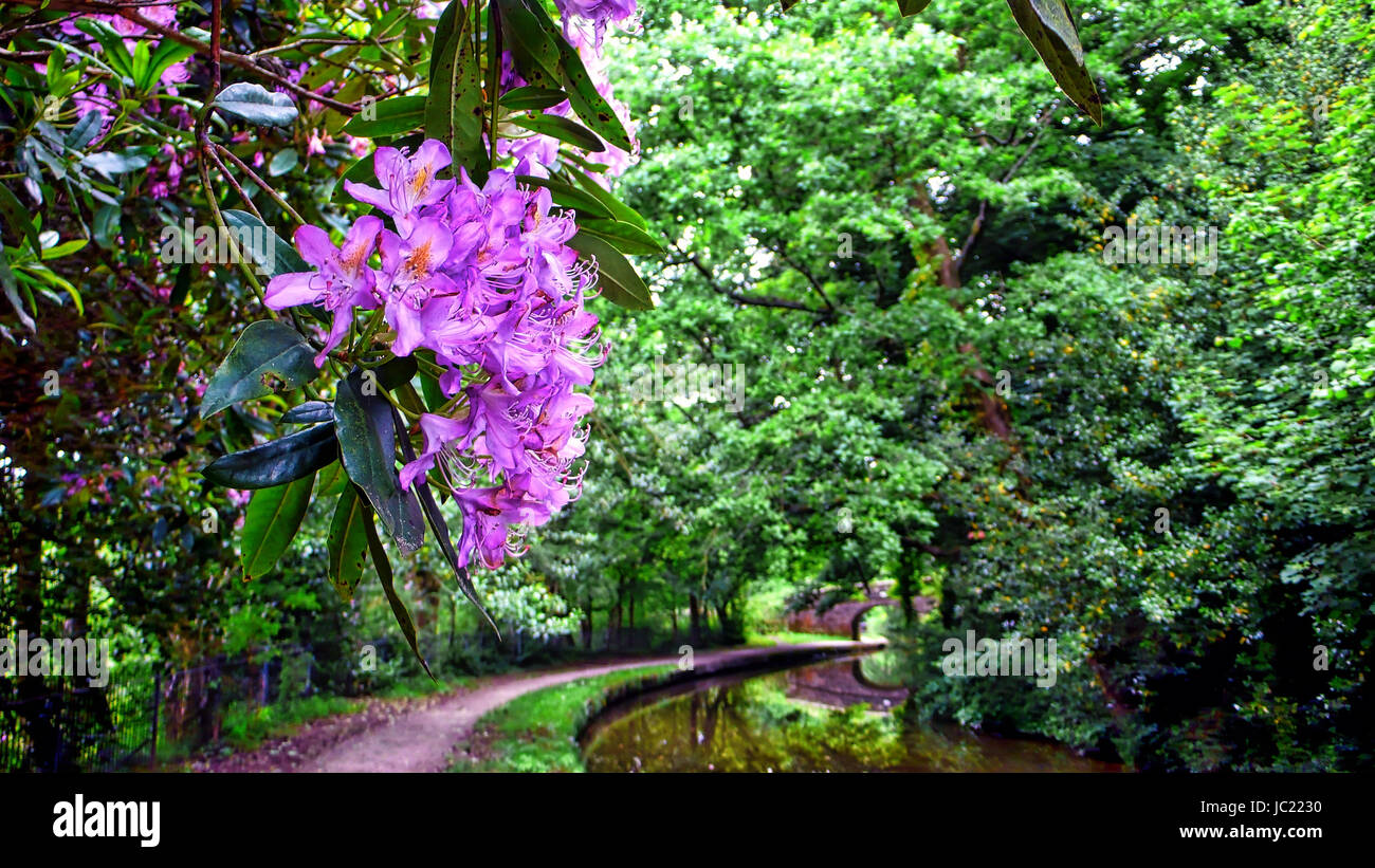 Caldon Canal, Staffordshire. 13th Jun, 2017. UK Weather: A typical English spring time scene wild Rhododendron Moerheim Stock Photo