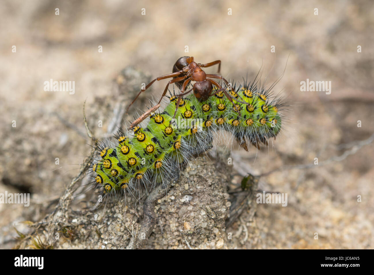 close-up-of-emperor-moth-saturnia-pavonia-caterpillar-or-larva-being-JC6AN5.jpg