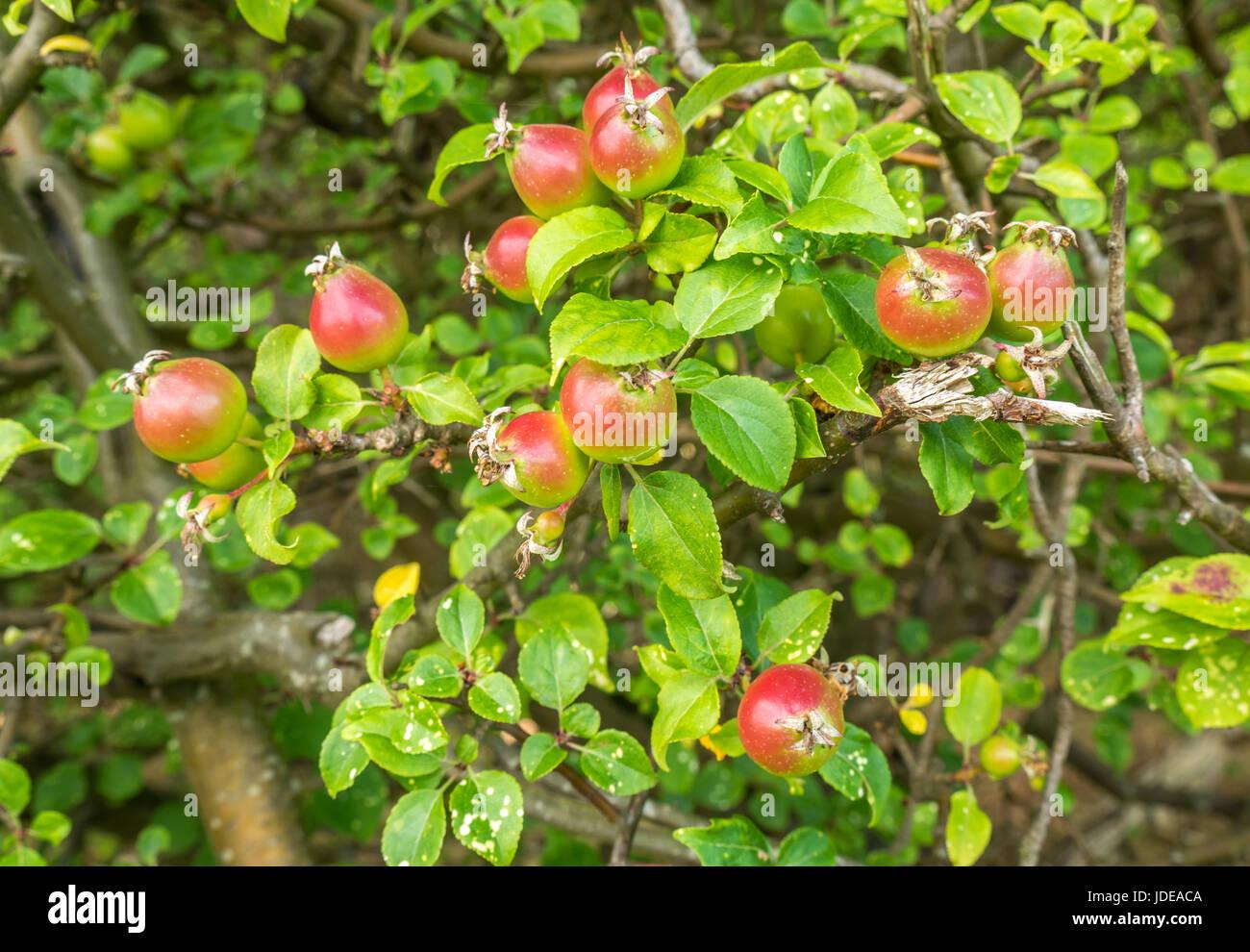 wild-crab-apples-malus-sylvestris-growin