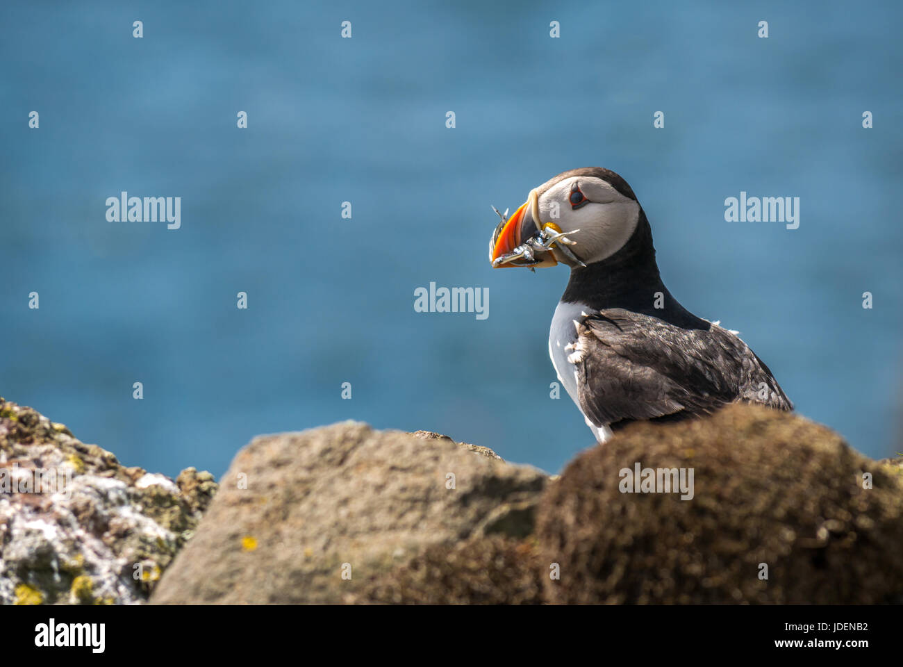 close-up-of-a-solitary-atlantic-puffin-f