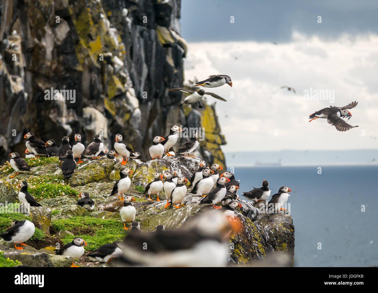 group-of-atlantic-puffins-fratercula-arc