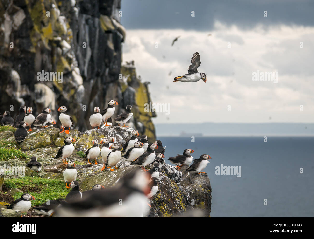 group-of-atlantic-puffins-fratercula-arc
