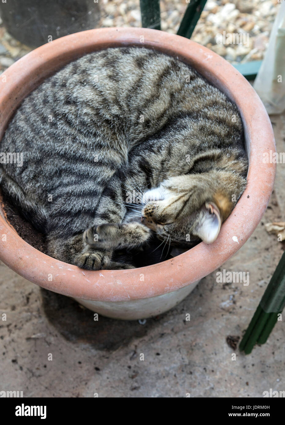 A short haired tabby bengal cat asleep in a flower pot in a greenhouse Stock Photo