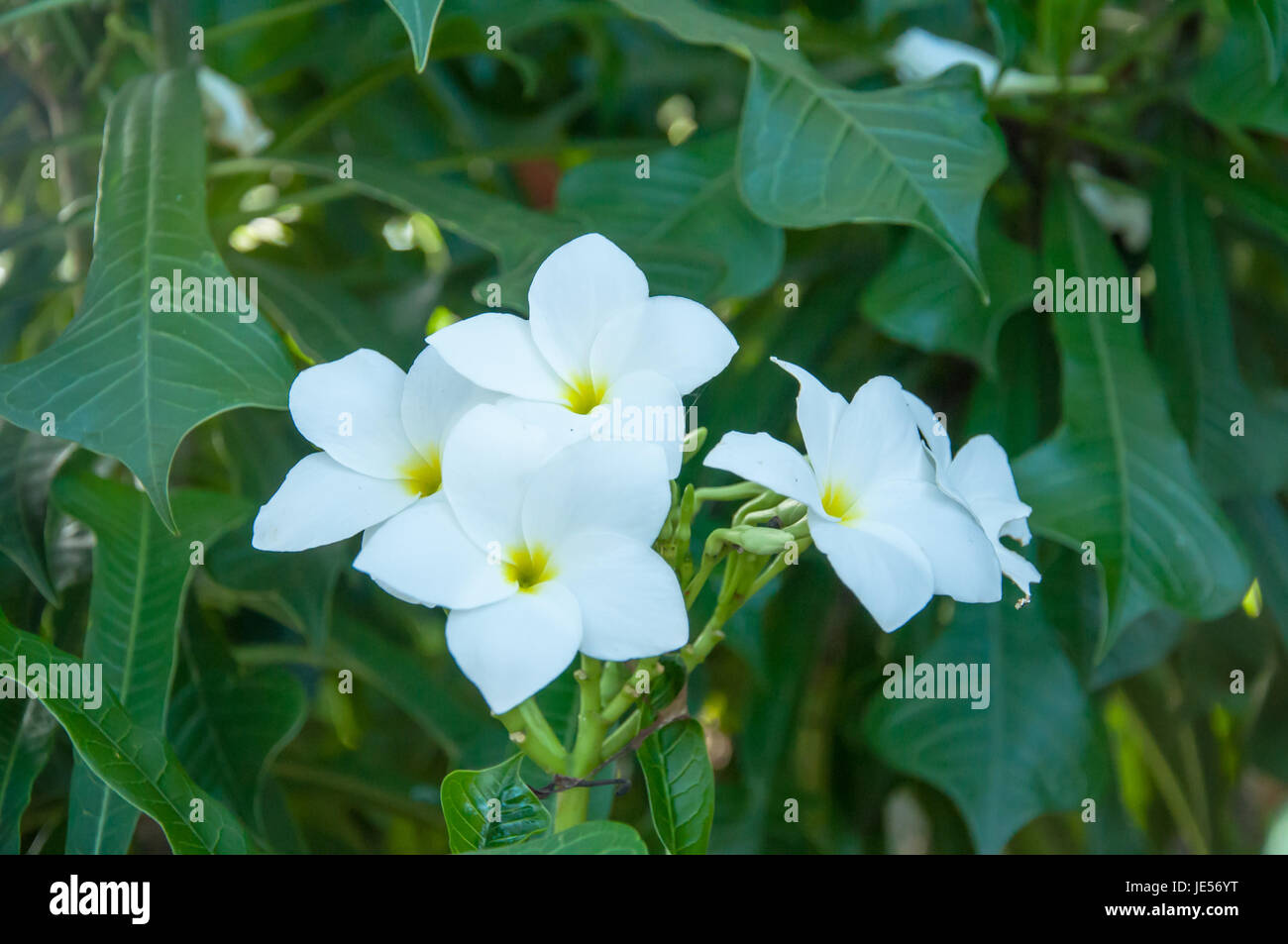 Beautiful white flowers and fresh name plumeria pudica endurance is beautiful white flowers and fresh name plumeria pudica endurance is excellent all year flower mightylinksfo Gallery