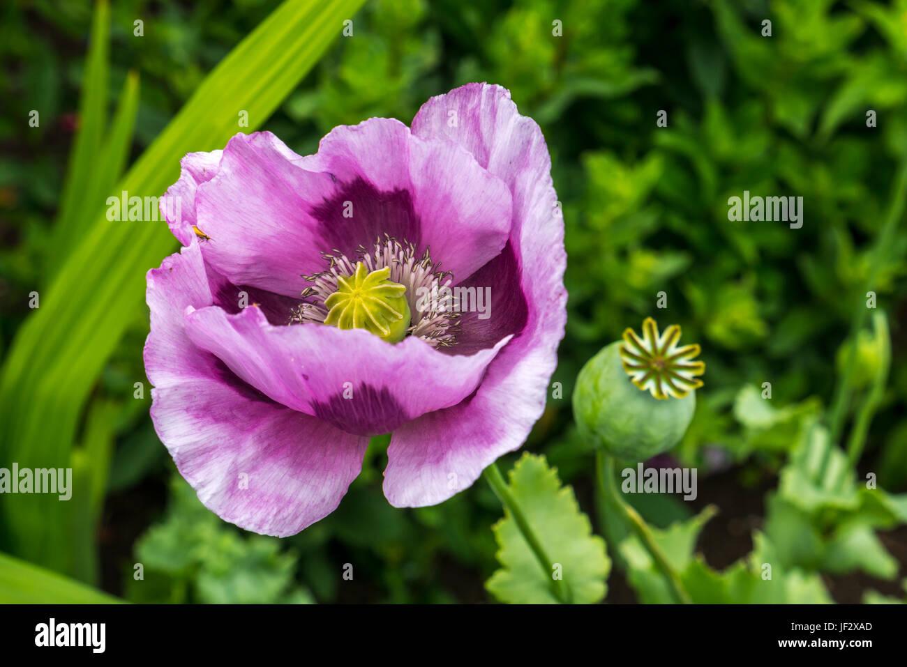 close-up-of-purple-corn-rose-poppy-papav