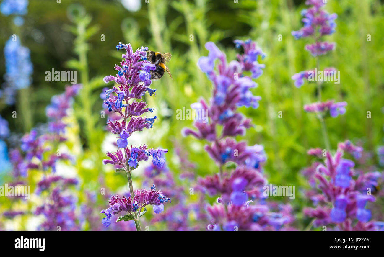 catmint-nepeta-six-hills-giant-and-fores