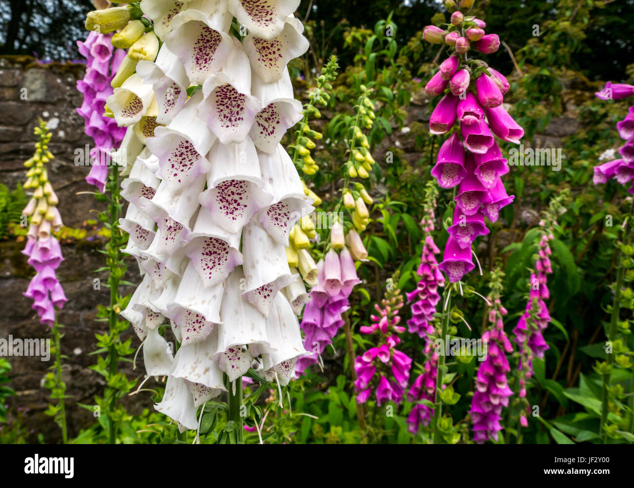 close-up-of-white-speckled-digitalis-fox