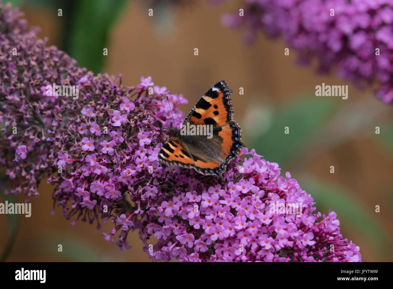 small-tortoiseshell-butterfly-feeding-on-blossom-of-buddleja-bush-JFYTWW.jpg