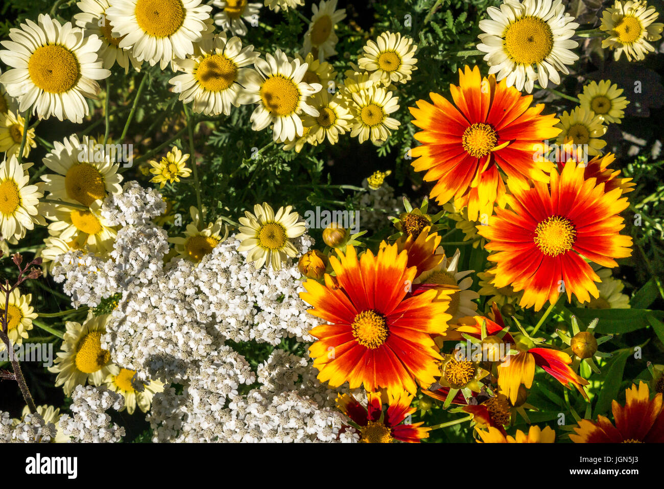 anthemis-e-c-buxton-chamomile-and-callio