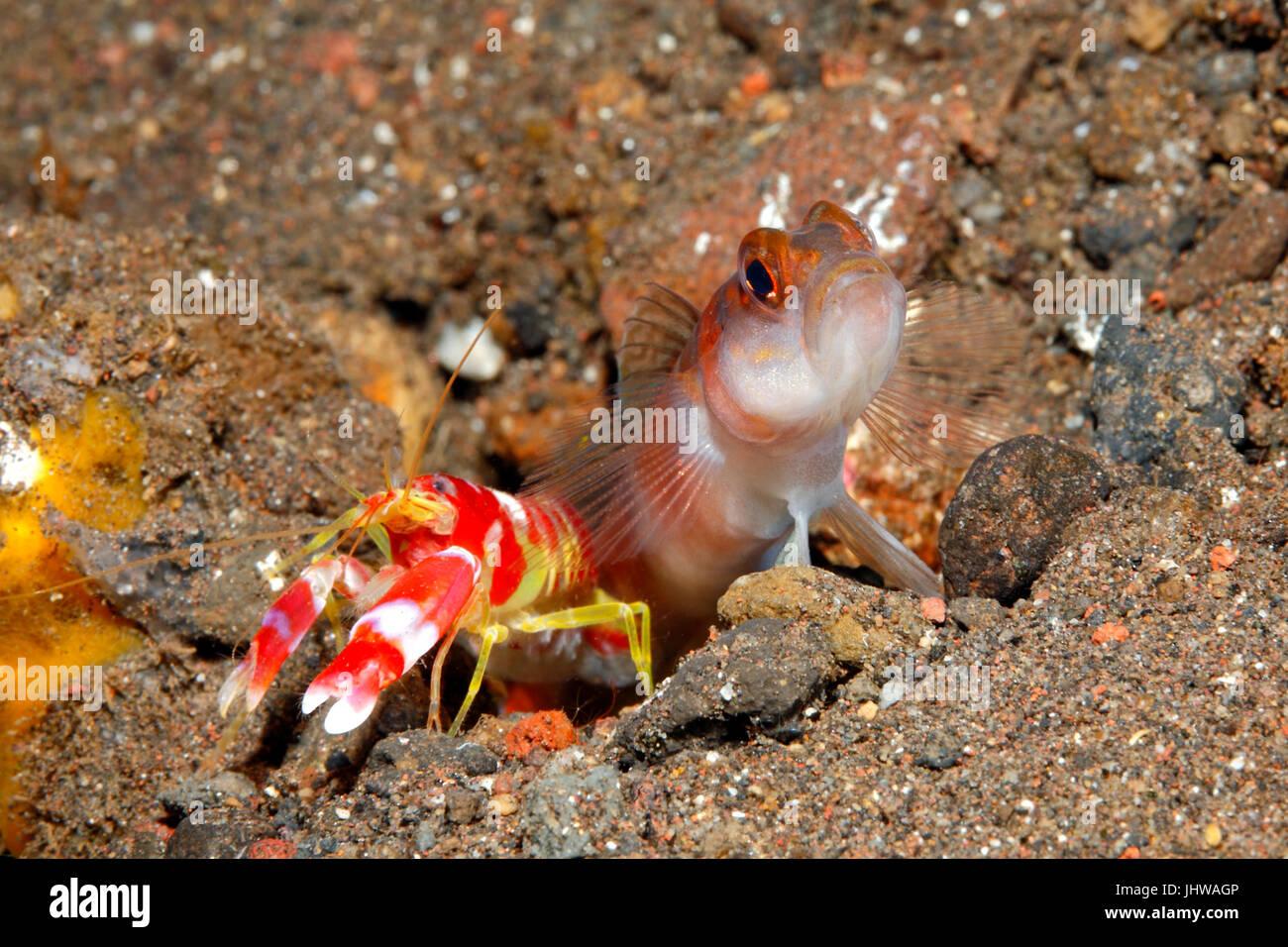 flagtail-shrimpgoby-amblyeleotris-yanoi-with-alpheid-shrimp-alpheus-JHWAGP.jpg