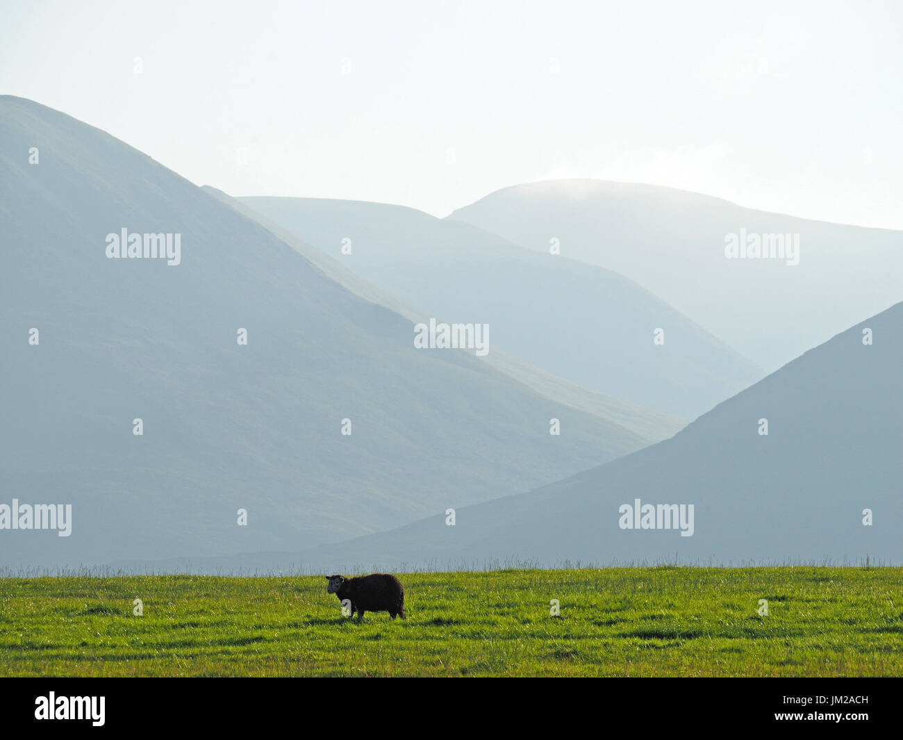 Lake District, UK. 25th July, 2017. A Herdwick sheep looks up from grazing in front of receding hills in evening - Stock Image