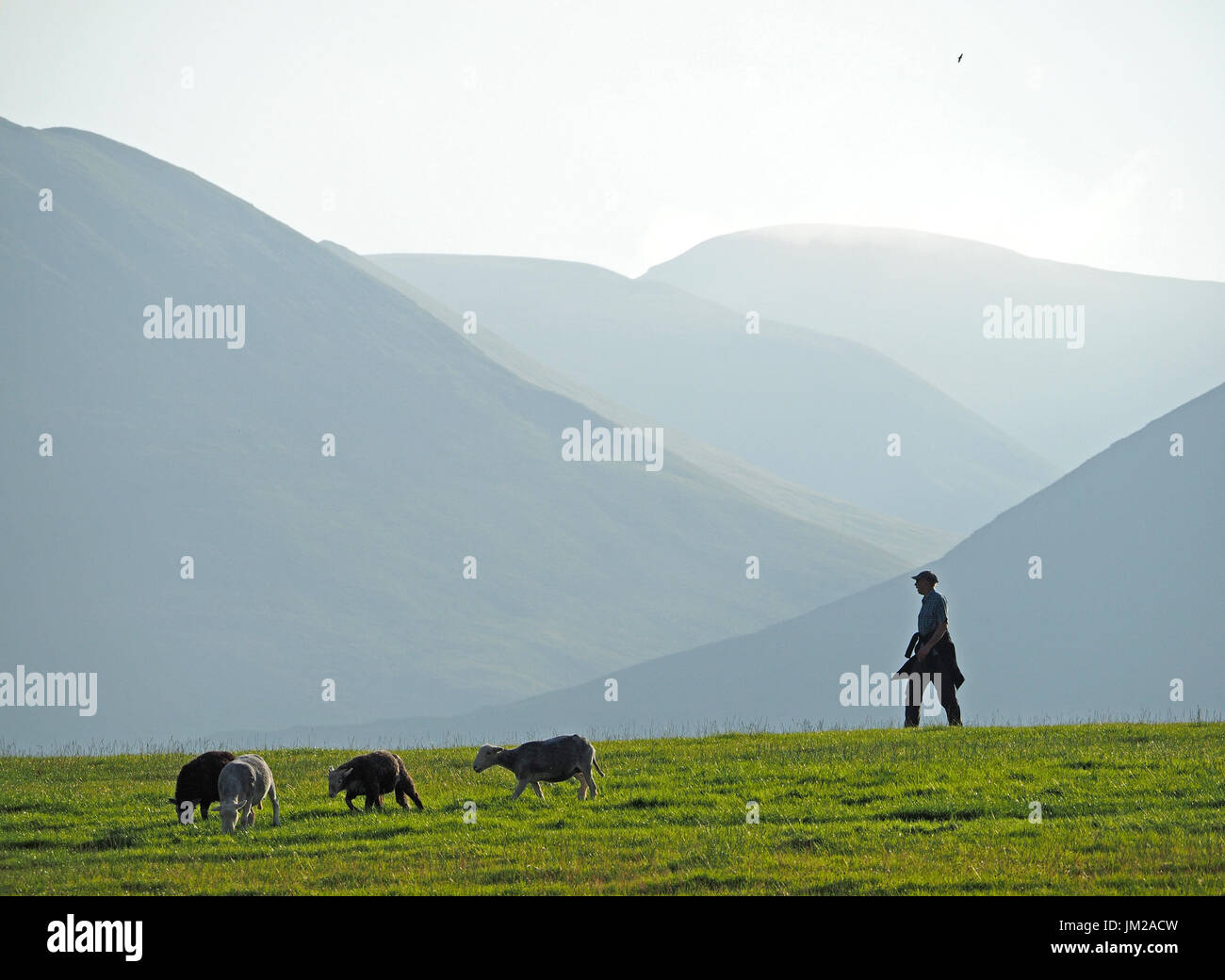 Lake District, UK. 25th July, 2017. A walker passes Herdwick sheep grazing in front of receding hills in evening - Stock Image