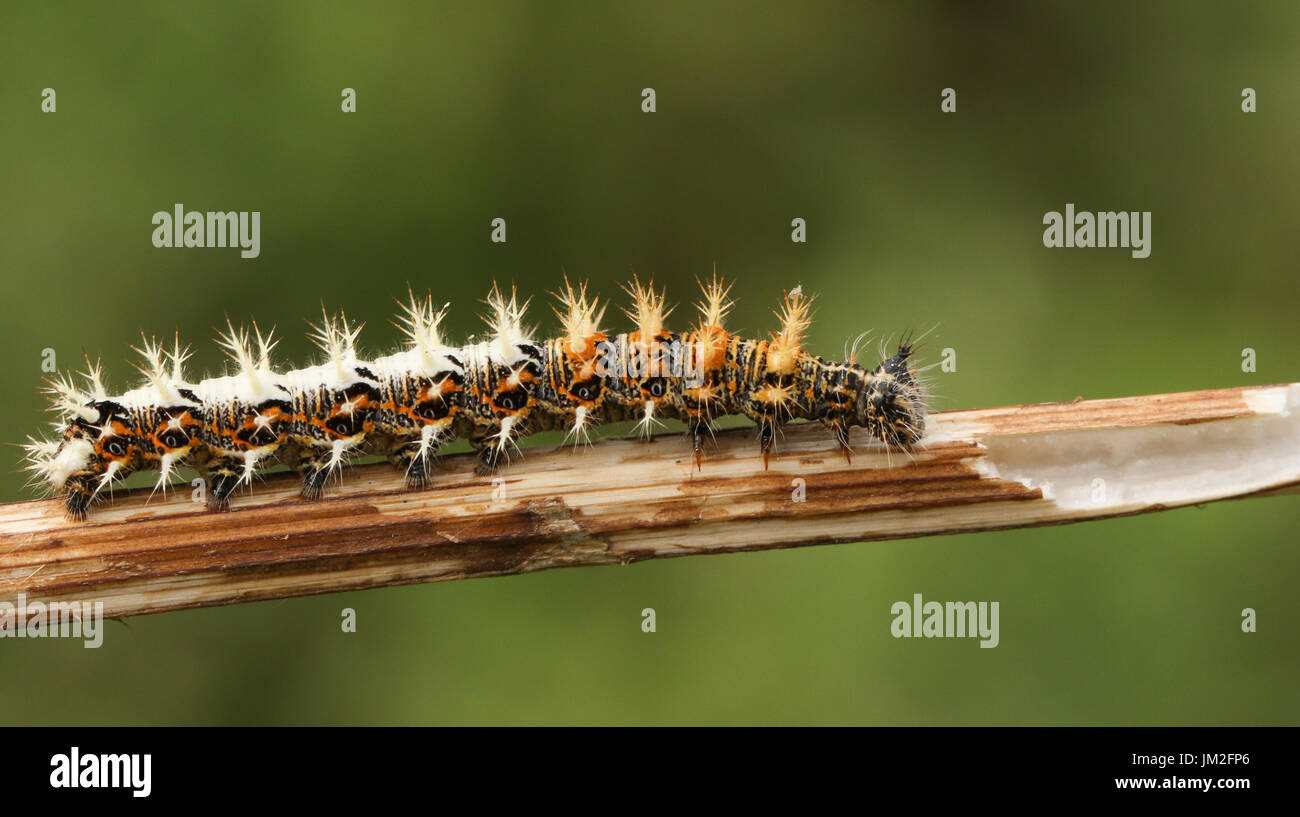A stunning Comma Butterfly Caterpillar (Polygonia c-album) . Stock Photo
