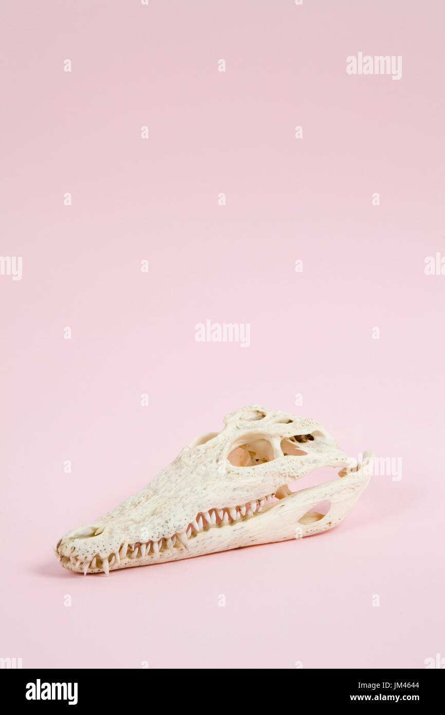 A crocodile skull on a pink plain background. Minimal offbeat still life photography - Stock Image