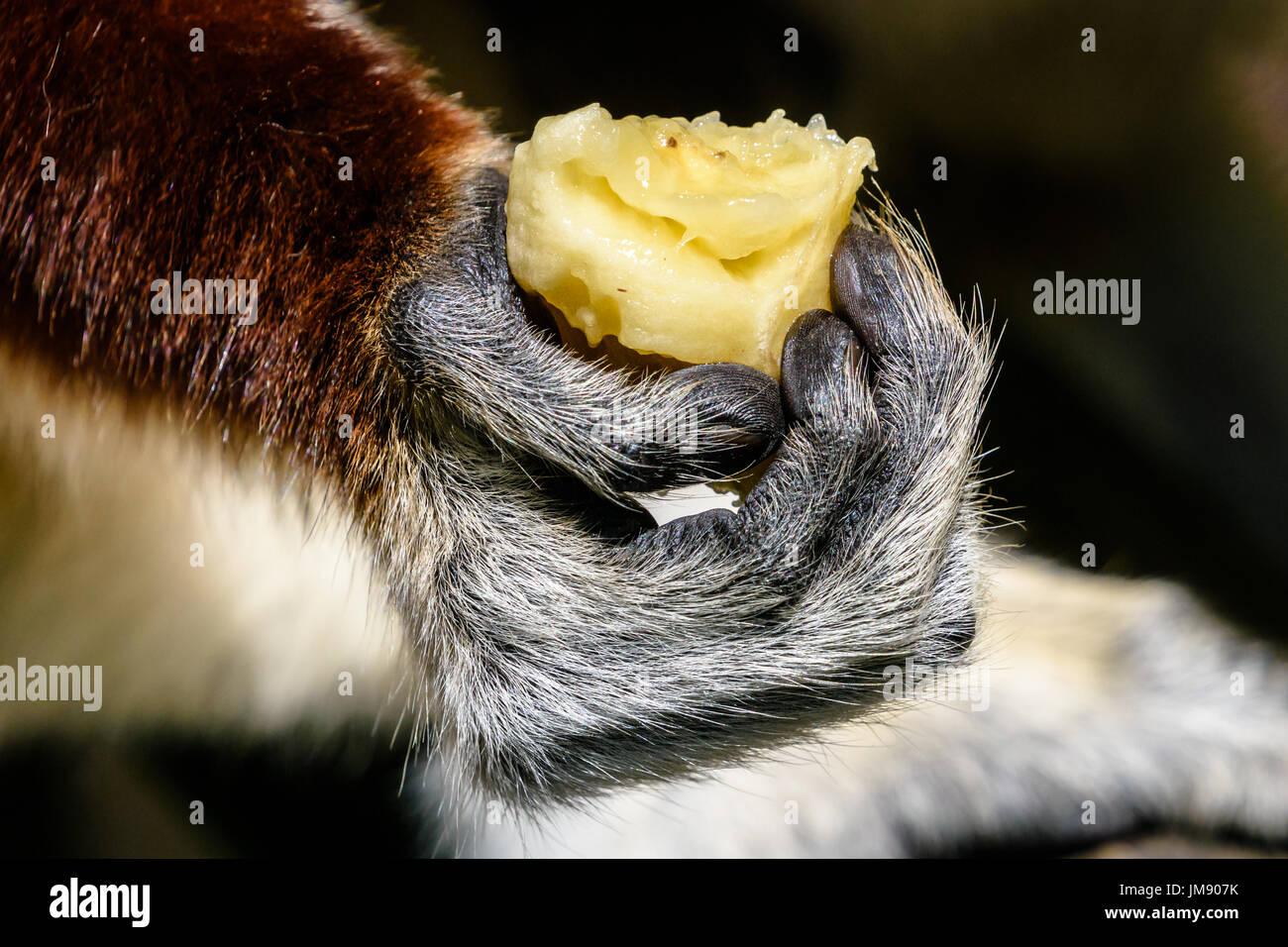 Close up of Sifaka lemur hand with banana - Stock Image