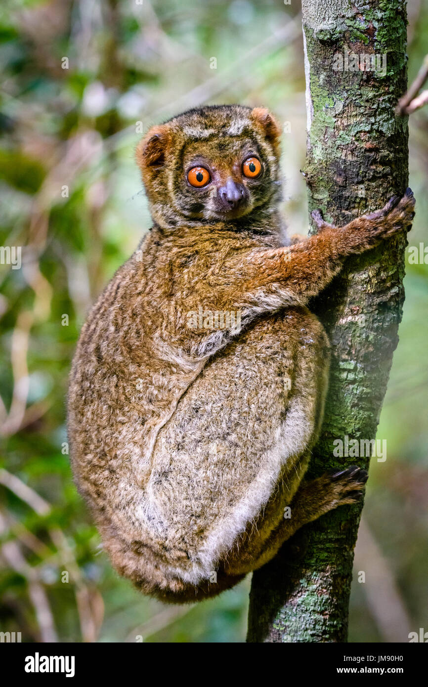 Close up of cute endangered Woolly Lemur clinging to tree in rainforest looking at camera - Stock Image