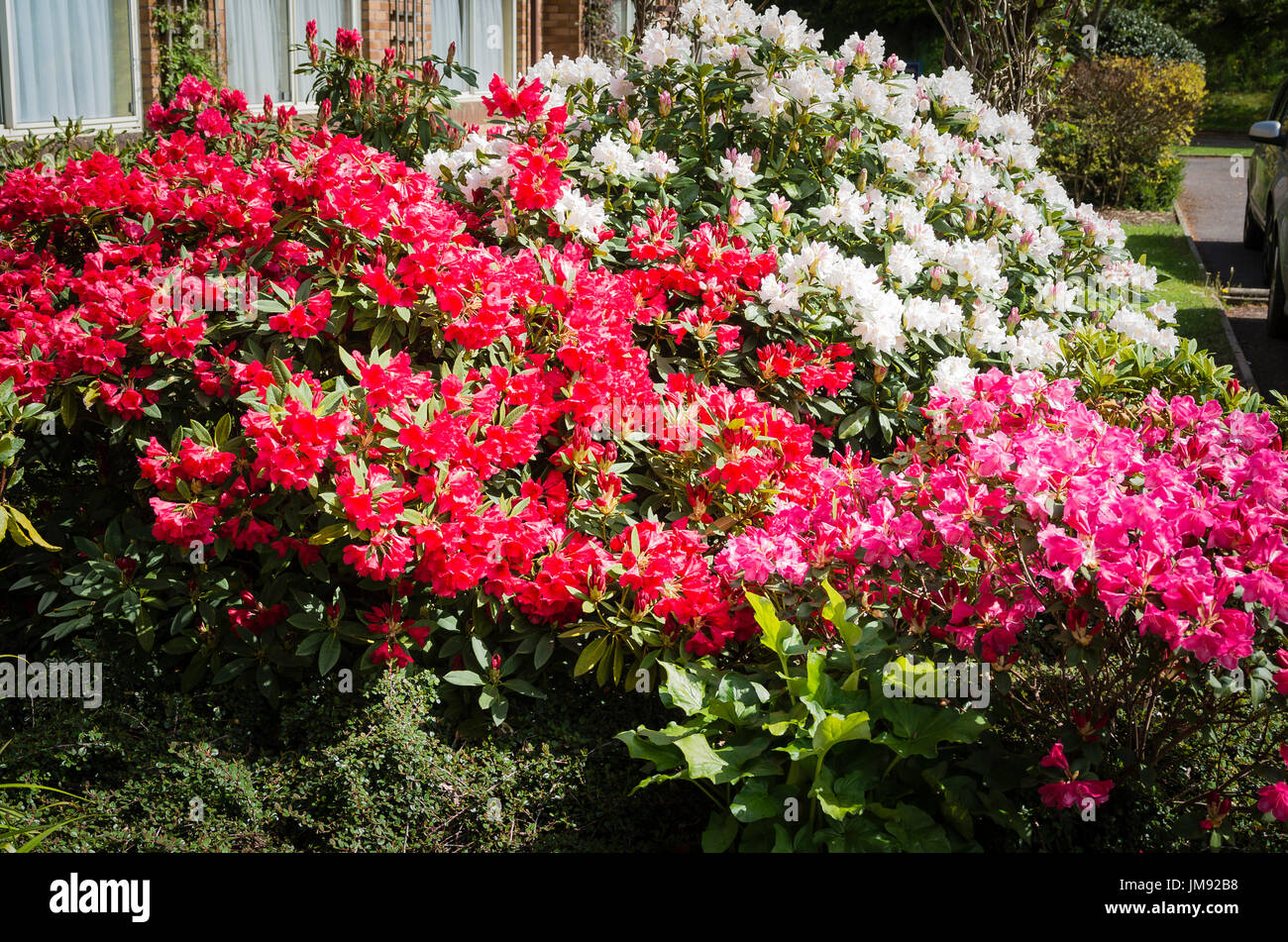 Display of flowering azaleas and rhododendrons in a hotel garden in Tiverton Devon UK Stock Photo